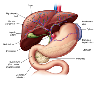 How the liver works sterling care in home care westchester ny anatomy of the liver and biliary system including the stomach pancreas gallbladder ccuart Choice Image
